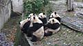 Panda_2015113